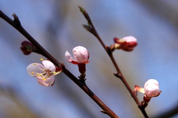 boccioli di fiori di albicocca