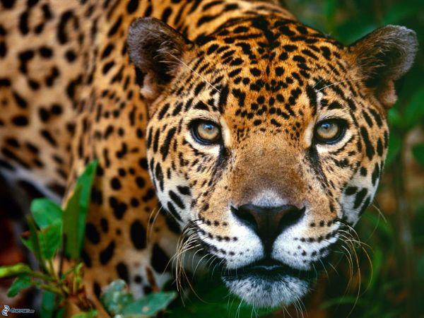 giaguaro 167595