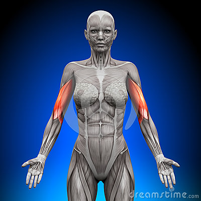 bicipite-muscoli-femminili-di-anatomia-41041633