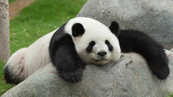 monda panda