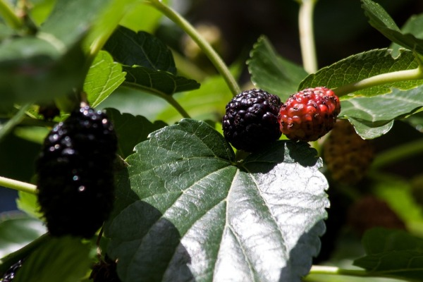 mulberries-143364_960_720